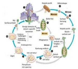 reproduksi angiospermae