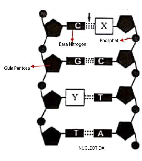Pembahasan Soal UN SMA IPA Biologi 2018 - Struktur RNA, Gen DNA, dan Kromosom