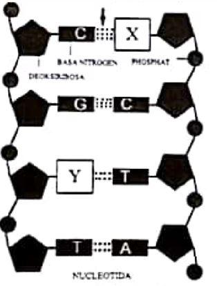 Soal UN SMA IPA Biologi 2018 - Struktur RNA, Gen DNA, dan Kromosom